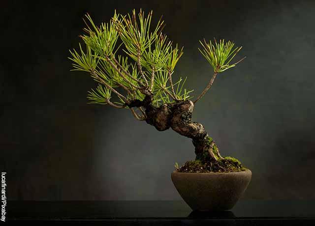 Foto de un árbol bonsái pino en una maceta
