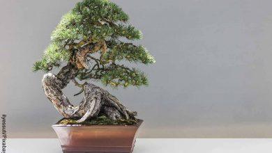 Foto de un árbol pequeño que revela cómo cuidar un bonsái pino