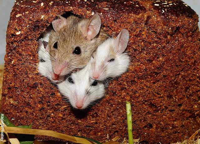Descubren que joven tenía 5 ratas como mascotas en Bogotá
