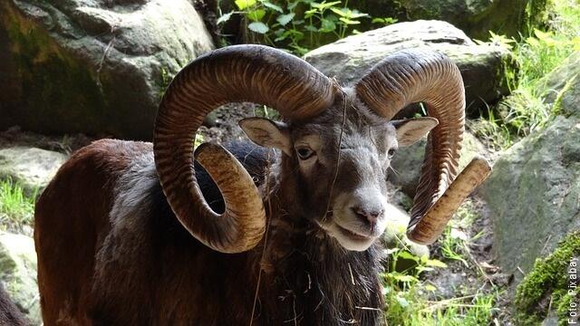 foto de una cabra
