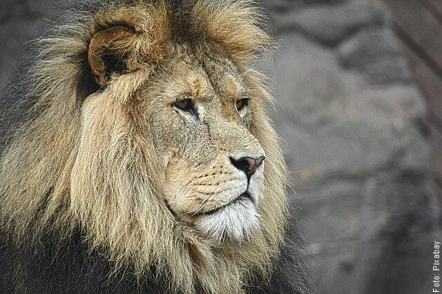 foto de un león