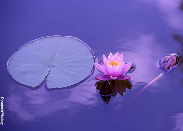 Foto de una flor de loto blanca sobre agua