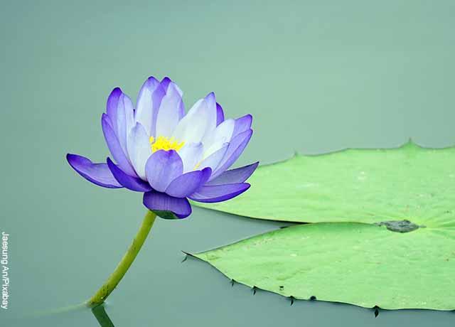 Foto de una planta azul que revela la flor de loto y su significado