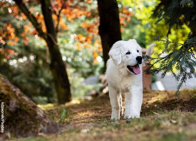 Foto de un cachorro de raza golden retriever que camina por el parque