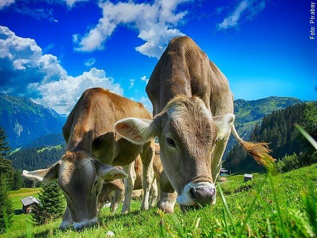 foto de vacas comiendo