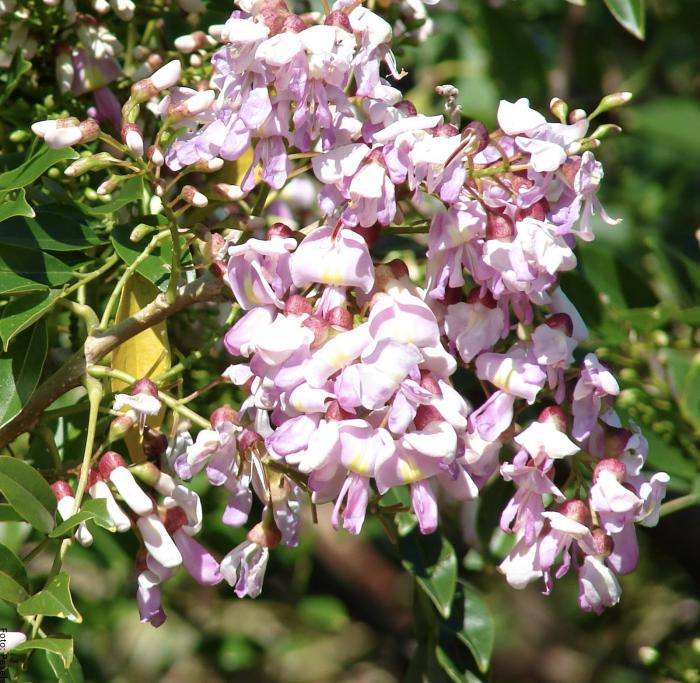 Foto de las flores de matarratón