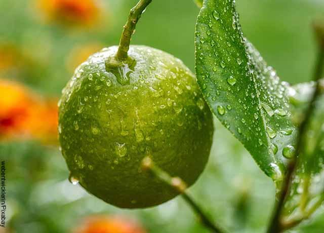 Foto de un limón en un árbol que revela para qué sirve la guatila