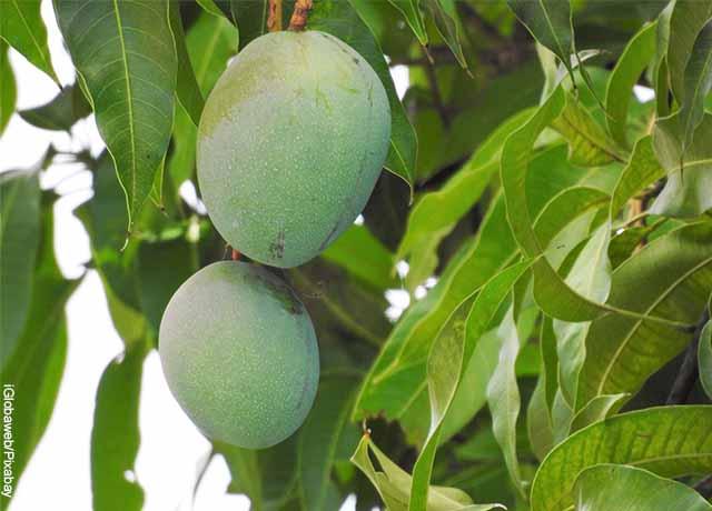Foto de mangos en una rama