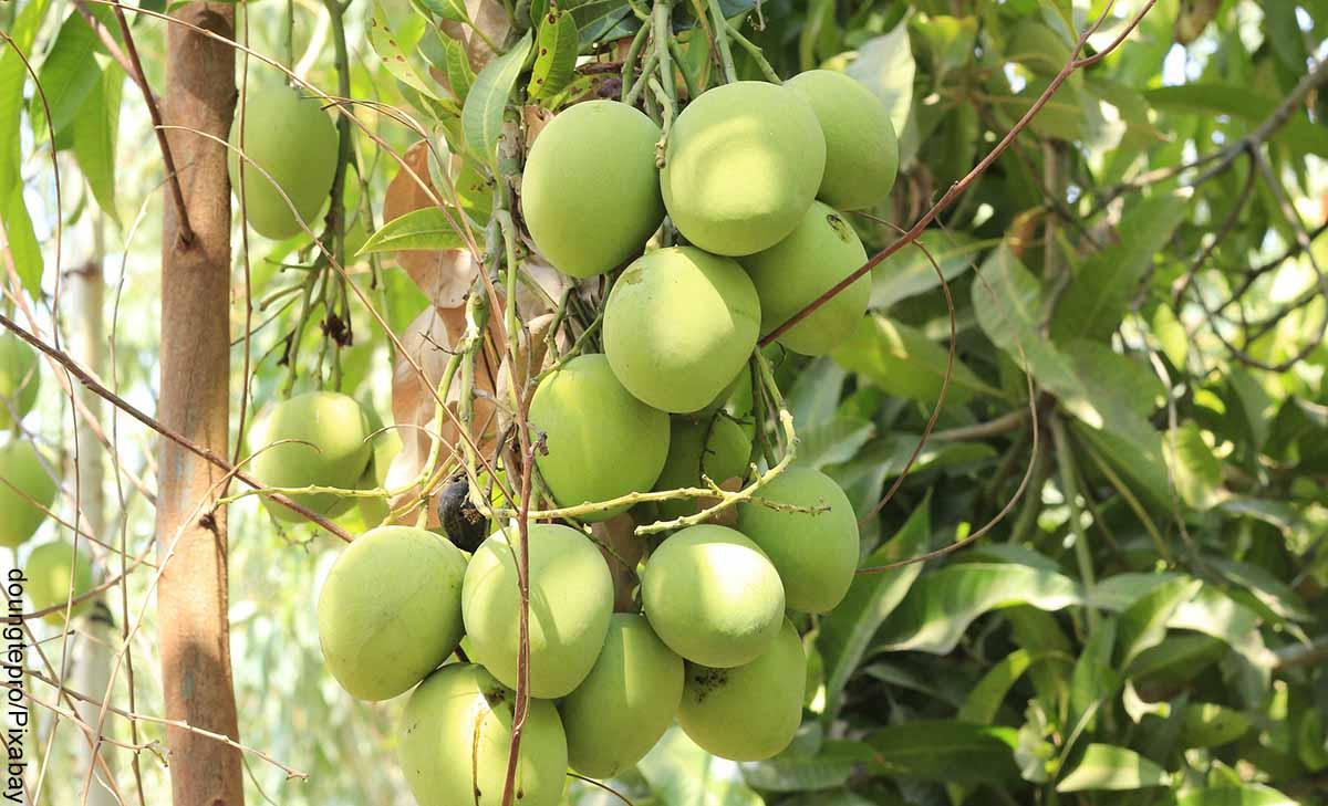 Foto de mangos colgados de un árbol que revela para qué sirve la hoja de mango