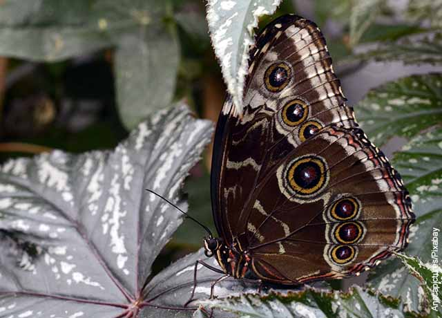 Foto de una mariposa café sobre una hoja