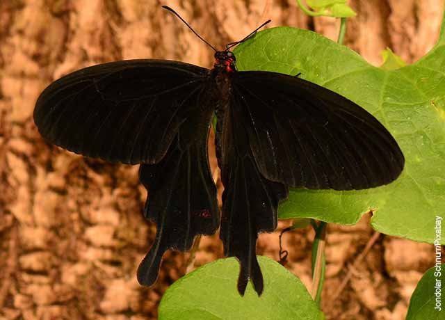 Foto de una mariposa grande y negra en un árbol