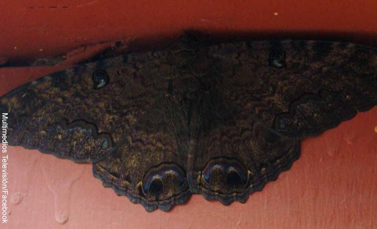 Foto de un insecto grande que revela qué significa una mariposa negra en el cuarto