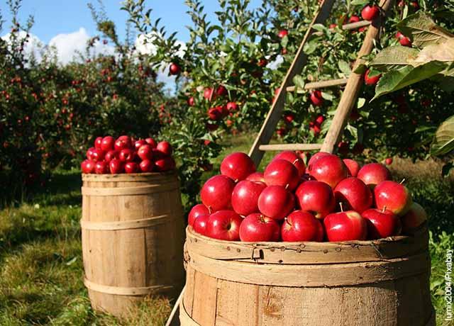 Foto de un árbol y manzanas