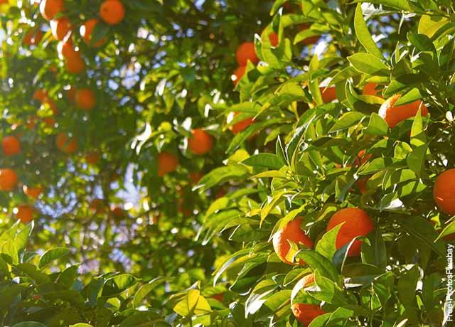 Foto de un árbol de naranjas que revela lo que es soñar con árboles