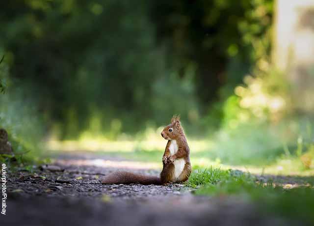 Foto de una ardilla parada en un sendero que revela lo que es soñar con ardillas