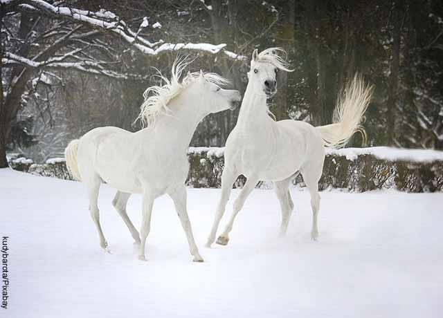 Foto de dos caballos peleando en la nieve