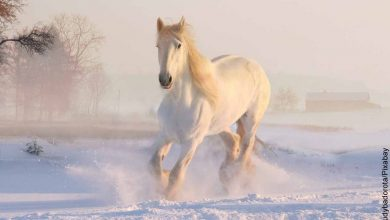 Foto de un corcel corriendo sobre la nieve que representa lo que es soñar con caballo blanco