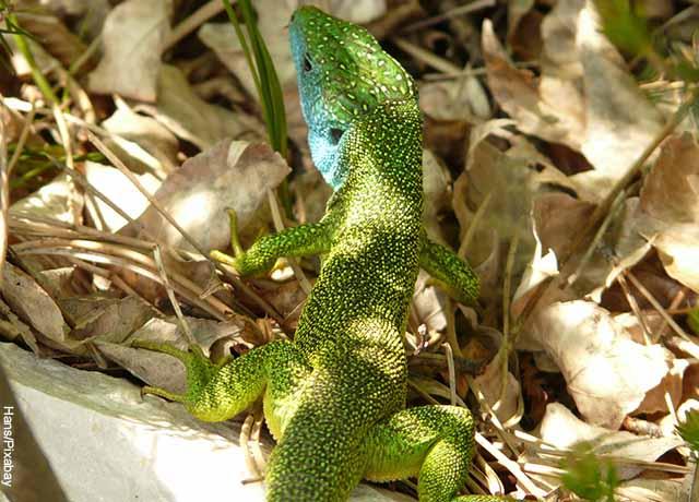Foto de una lagartija verde caminando entre hojas