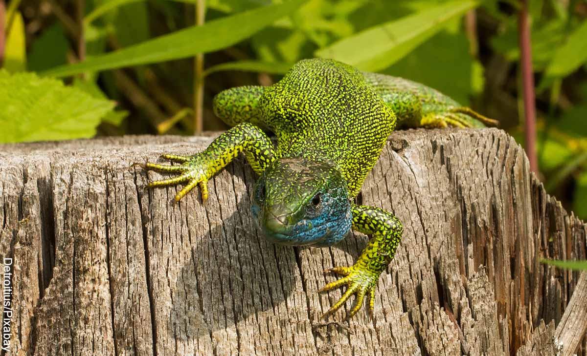 Foto de una lagartija verde que revela lo que es soñar con lagartijas