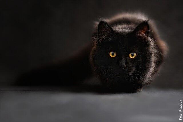 foto de gato negro