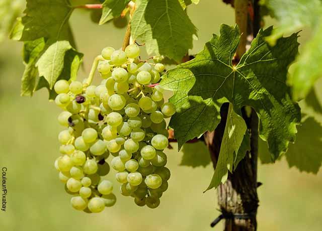 Foto de un racimo de uvas verdes con hojas