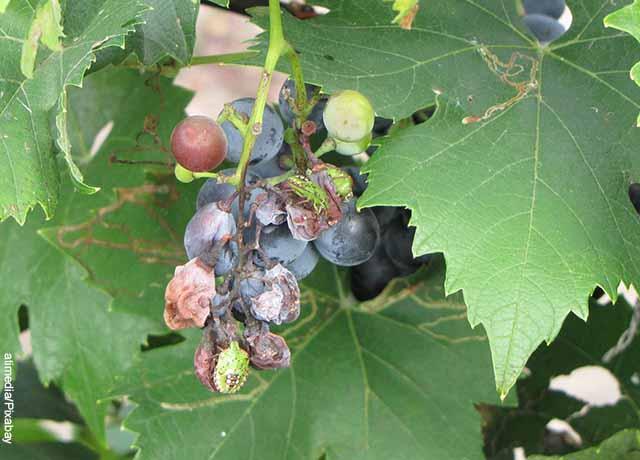 Foto de uvas podridas en un árbol