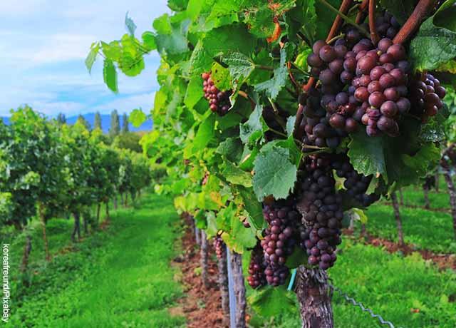 Foto de árboles en un viñedo que muestra lo que es soñar con uvas