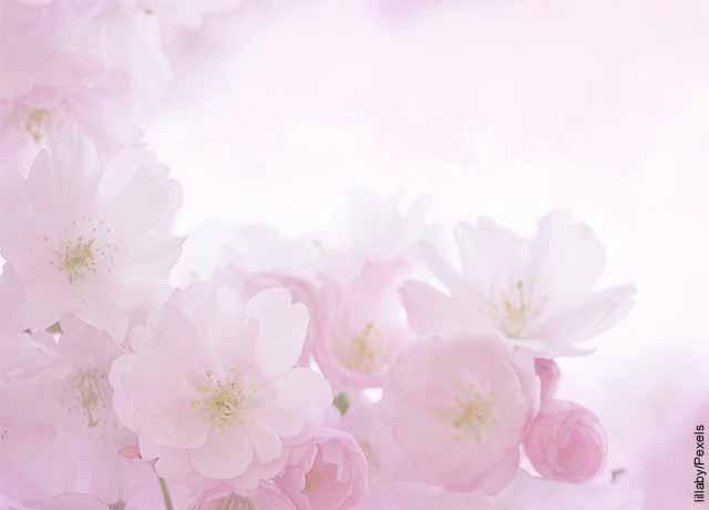 Foto de flores color palo de rosa