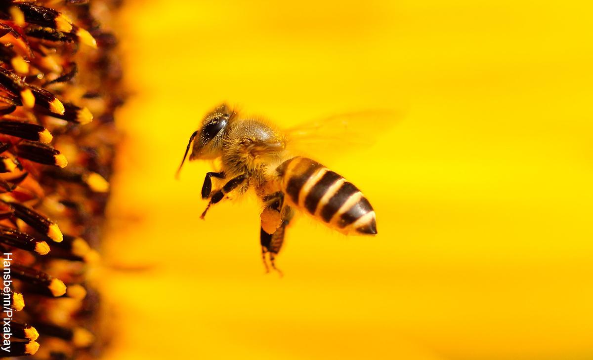 Foto de una abeja en una flor que revela el significado de abeja