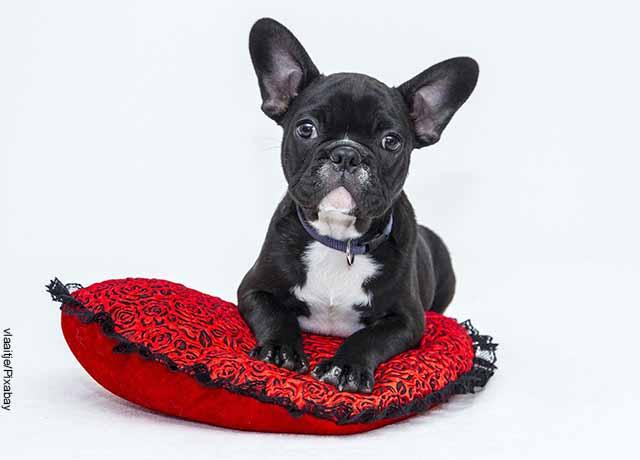 Foto de un cachorro acostado sobre una almohada que muestra el significado de cucha