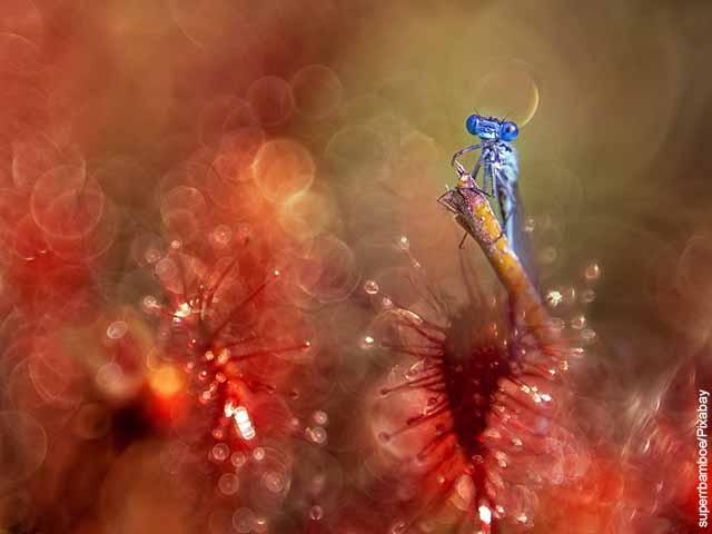 Foto de un insecto azul sobre una flor