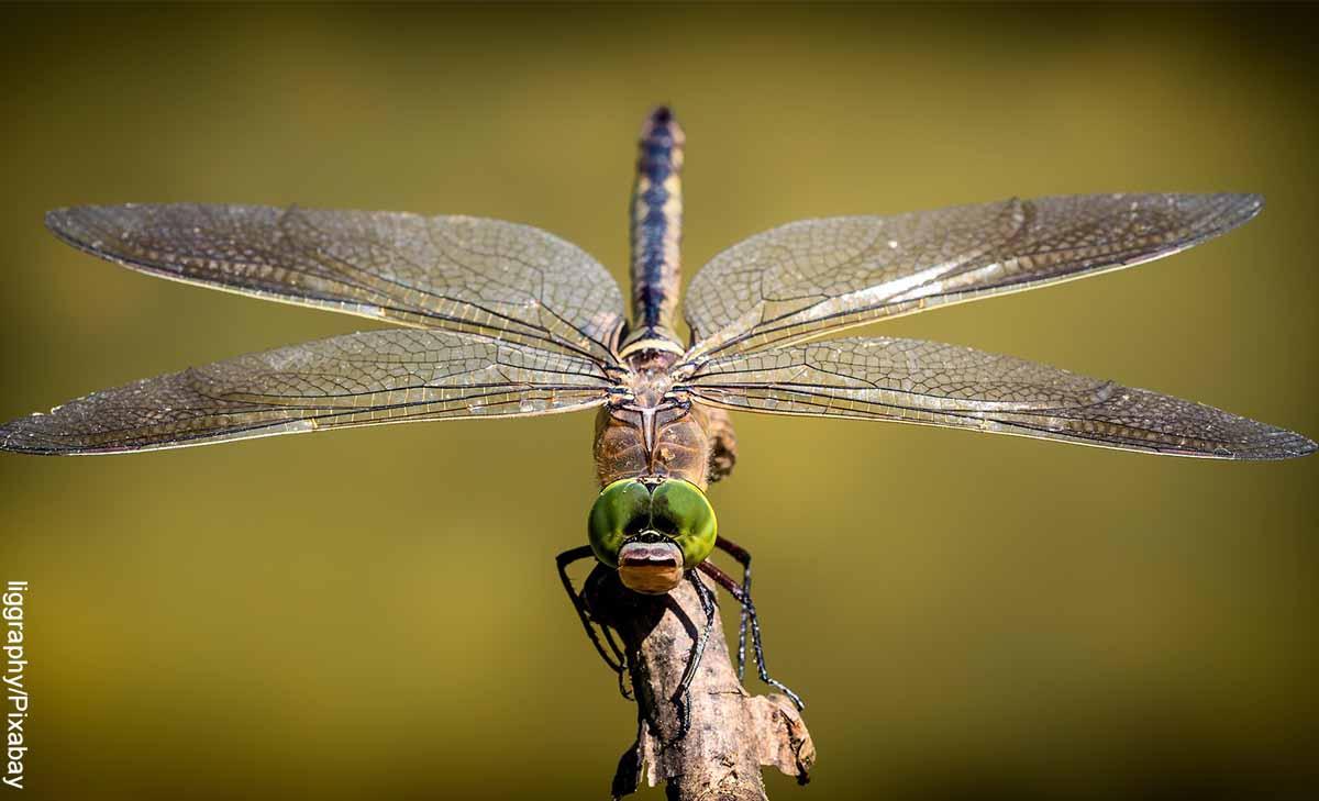 Foto de un insecto grande que revela el significado de la libélula