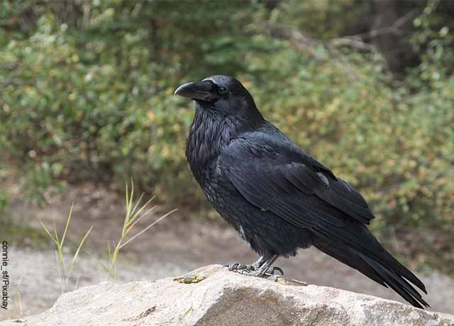 Foto de un cuervo sobre una piedra que muestra lo que es soñar con aves