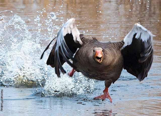 Foto de un ganso volando sobre el agua