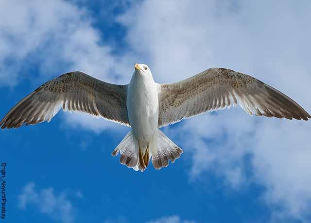 Foto de una gaviota volando