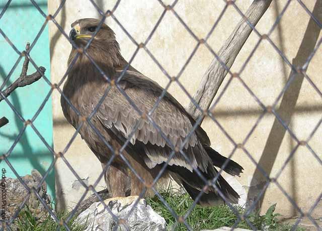 Foto de un águila en una jaula que muestra lo que es soñar con aves