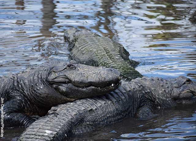 Foto de tres caimanes en el agua que revela lo que es soñar con caimanes
