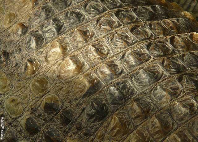 Foto de la piel de un caimán que muestra lo que es soñar con caimanes