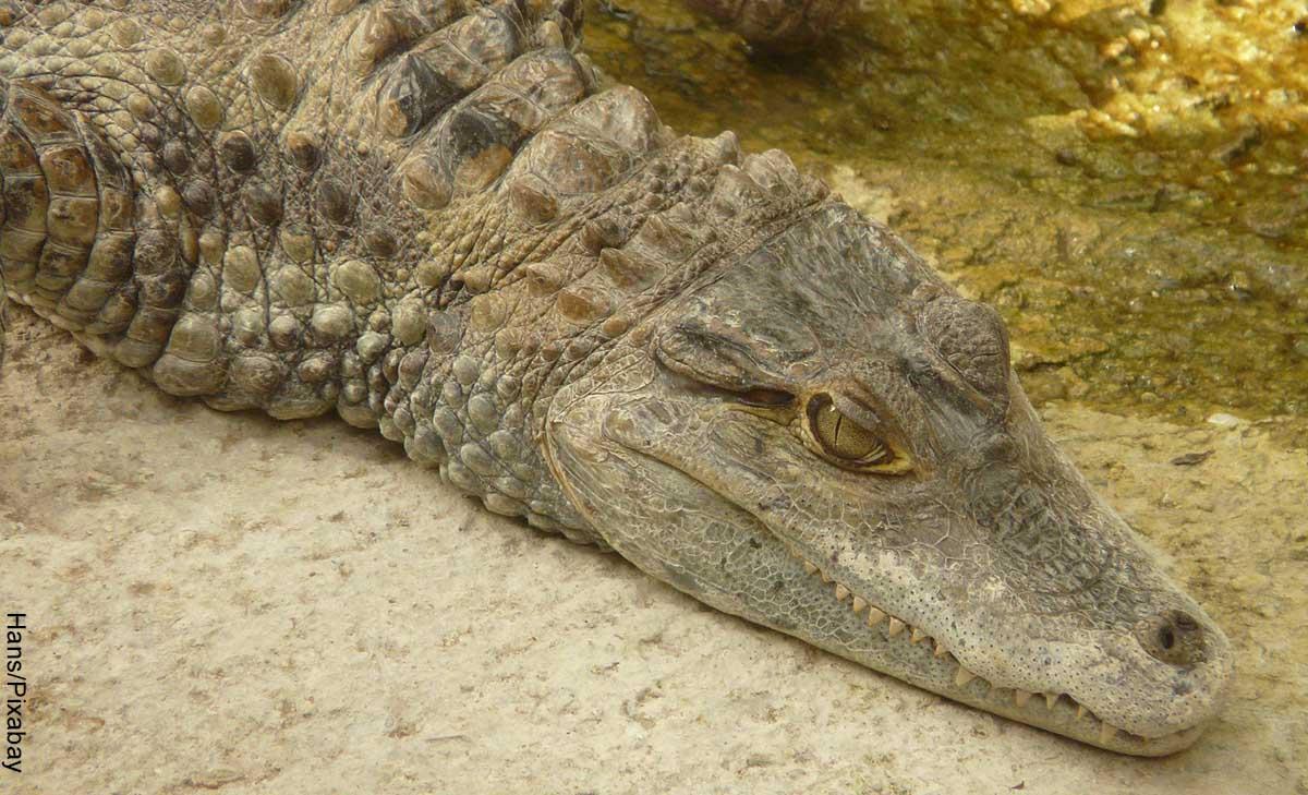 Foto de la cabeza de un reptil que muestra lo que es soñar con caimanes