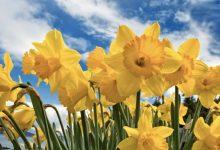 Soñar con flores amarillas, ¿buenos o malos presagios?