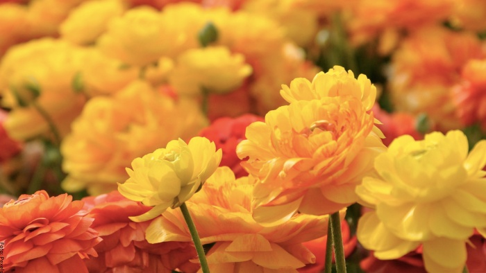 Foto de flores amarillas y naranjas