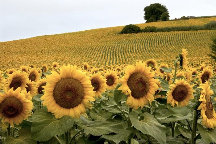 Foto de muchas flores amarillas