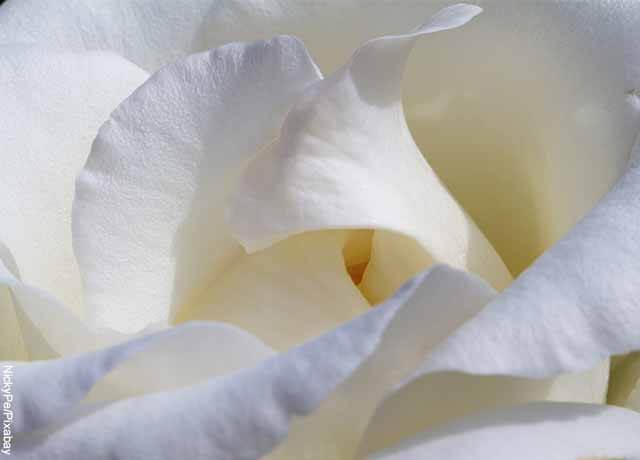 Foto de primer plano de pétalos de rosa blanca