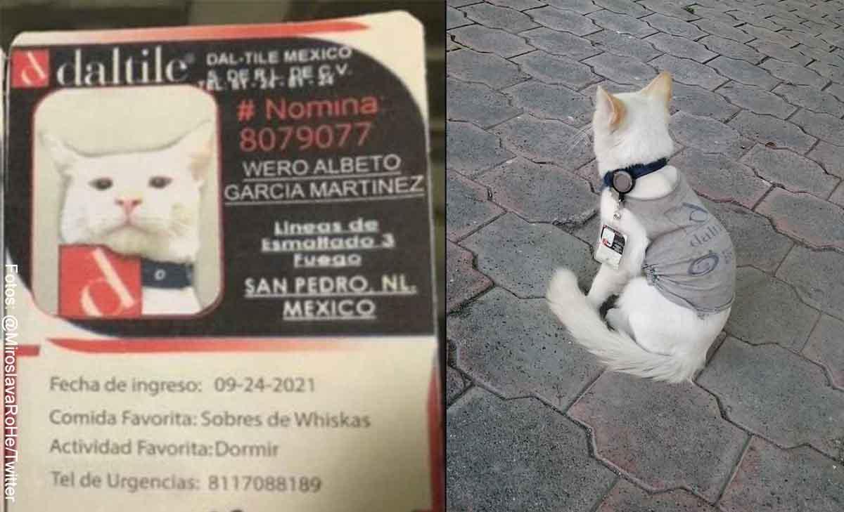 Empresa mexicana contrató a un gatito como vigilante