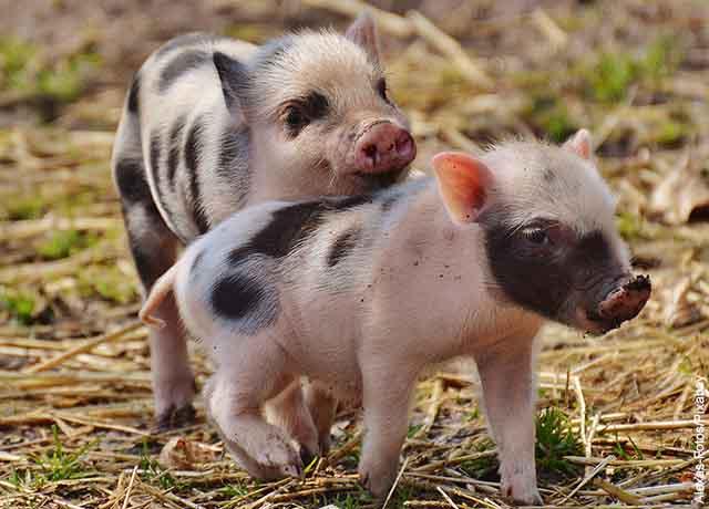 Foto de dos pequeños cerdos jugando