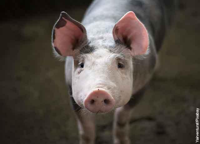 Foto de un cerdito mirando a la cámara que muestra qué significa soñar con cerdos