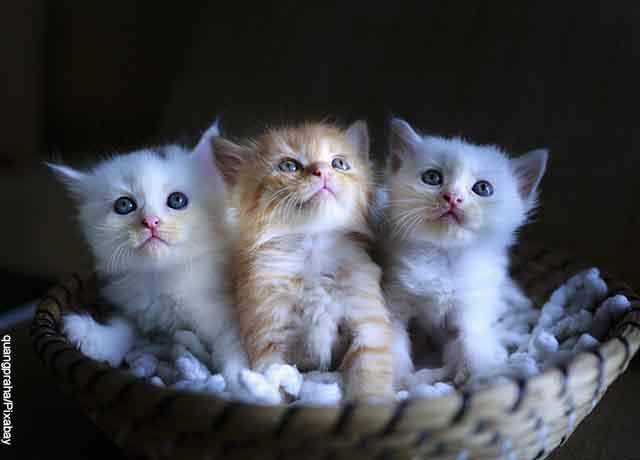 Foto de tres gatos blancos sentados en una canasta que revela qué significa soñar con gatos bebés