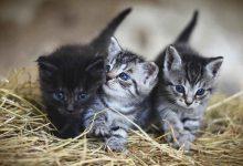 Foto de tres felinos pequeños que muestran qué significa soñar con gatos bebés