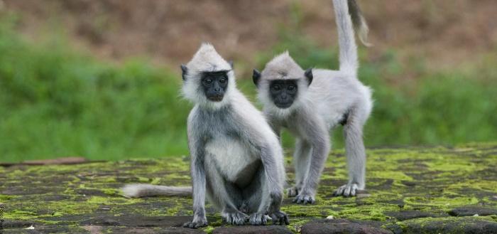 Foto de dos monos grises