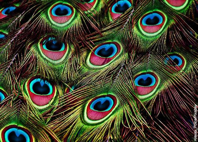 Foto del plumaje verde, azul y rojo de un pavo real